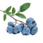 blåbär egenskaper