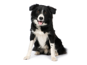 krafta border collie