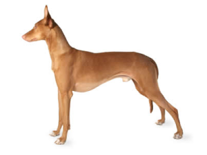skorpion faraohund