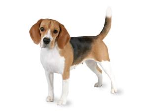 tvilling beagle