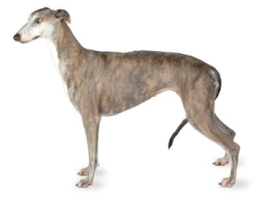 vattuman greyhound