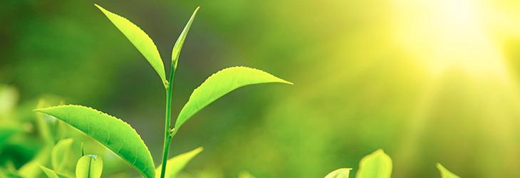 gront te skyddar mot ogonsjukdom