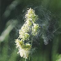 gras pollen