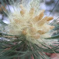 pollen fran gran